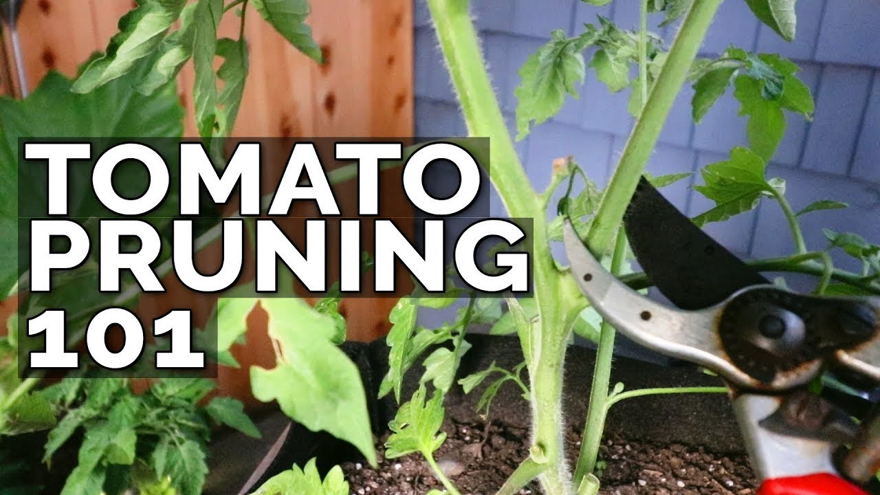 How to Prune Tomatoes for Maximum Yield and Plant Health