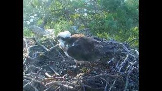 Loch of the Lowes Ospreys 3 20 18  730am Welcome home LF15 Lassie
