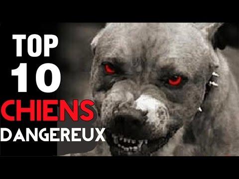 Top 10 DES CHIENS LES PLUS DANGEREUX DU MONDE !
