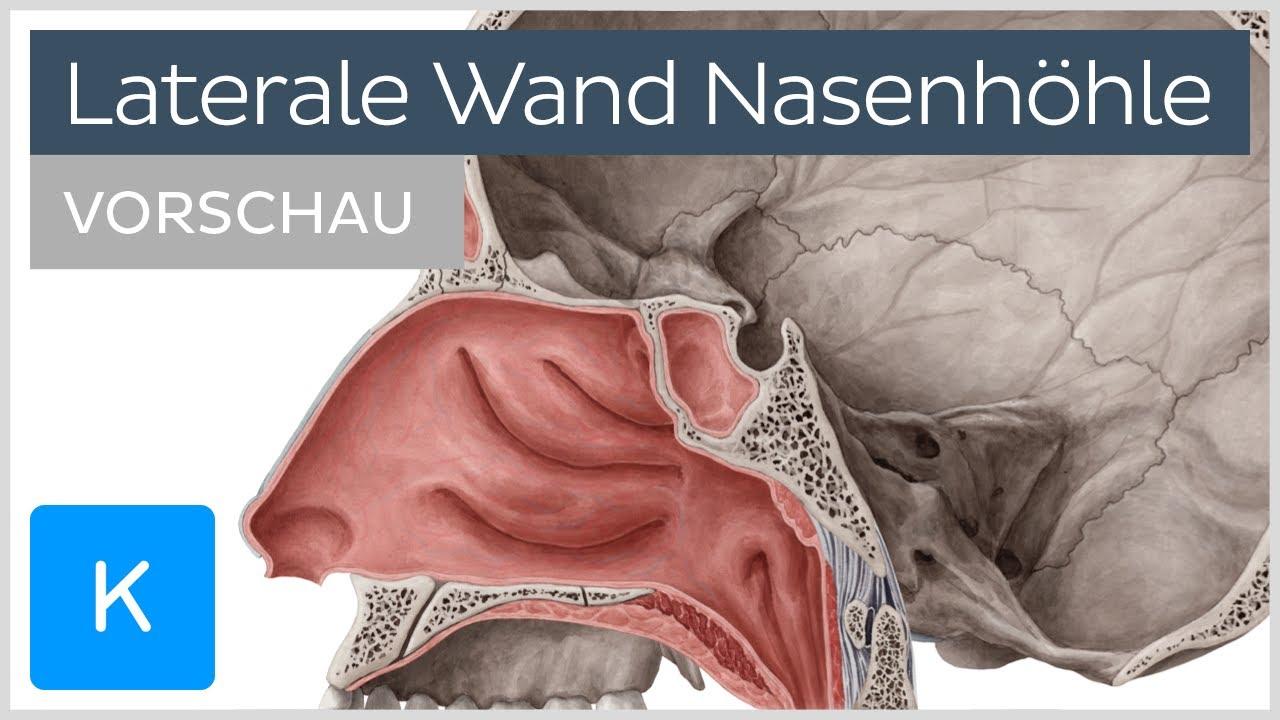 Nasenhöhle: Anatomie der lateralen Wand (Vorschau) |Kenhub