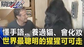 懂手語、養過貓、會化妝 全世界最聰明的猩猩「可可」走了… 關鍵時刻20180622-6 黃世聰 王瑞德
