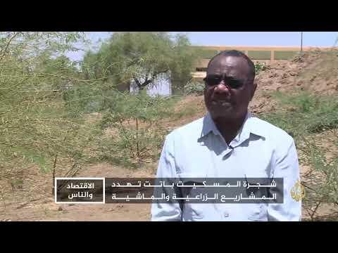 الاقتصاد والناس-المسكيت.. شجرة تهدد الماء والزراعة بالسودان  - 18:54-2018 / 9 / 15