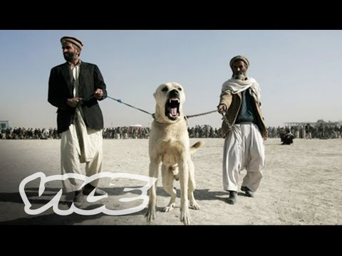 Underground Dog Fighting in Afghanistan (Part 1/3)