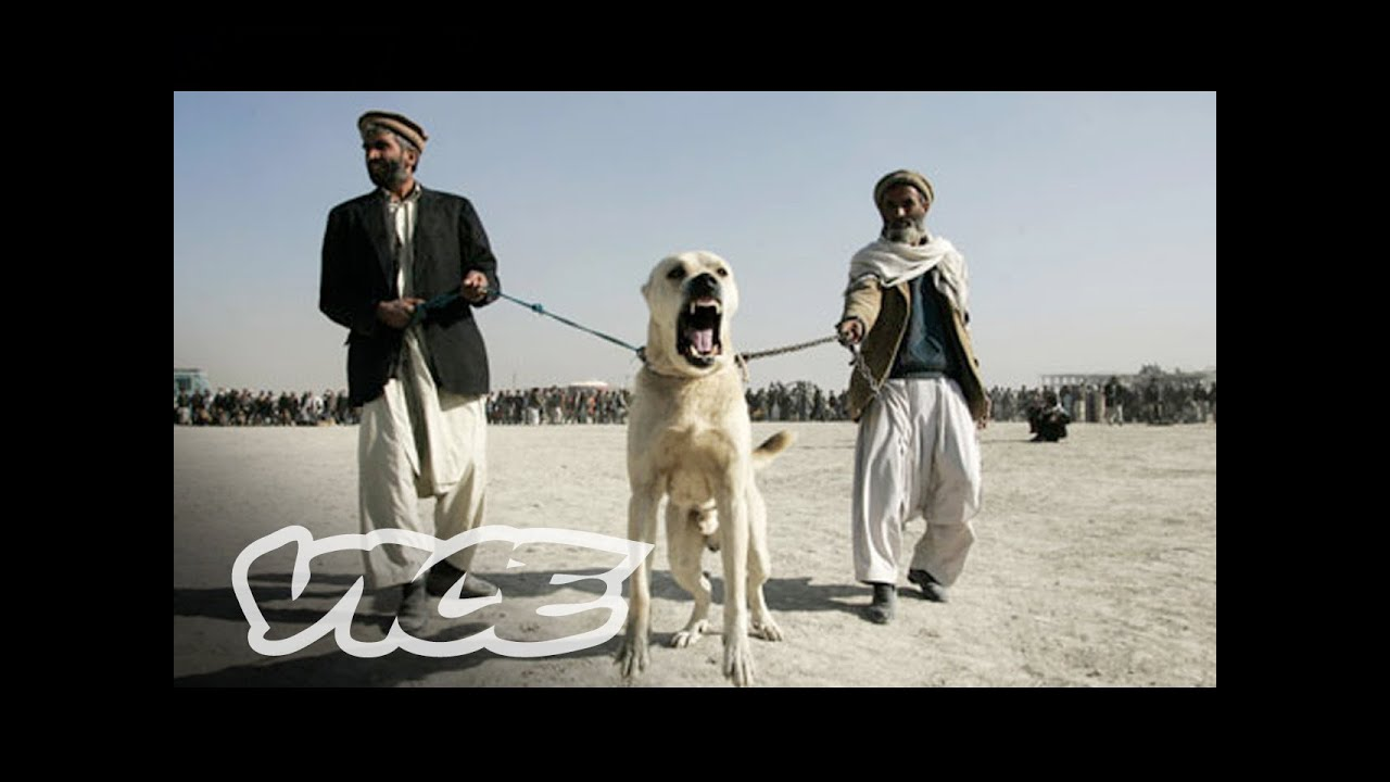 Underground Dog Fighting In Afghanistan Part 1 3 Youtube