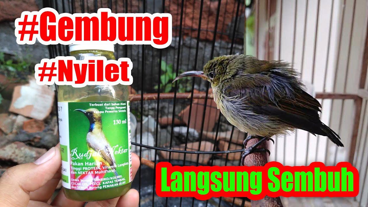 Cara AMPUH Mengatasi Burung Konin (Kolibri) Gembung, Nyilet, Botak, Kurus Dengan Rujak Nektar