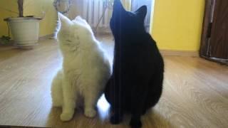 инь янь две кошки