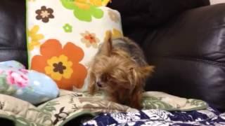 老犬になっても、ジャーキーが大好き!
