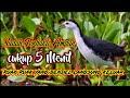 Suara Burung Wak Wak Paling Ampuh Yang Bandel Pasti Keluar  Mp3 - Mp4 Download
