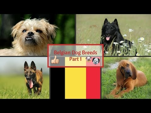 Belgian Dog Breeds Part 1