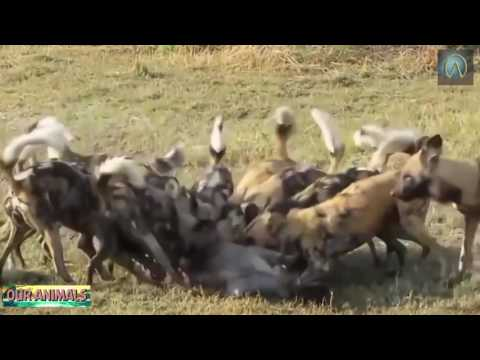 Most amazing wild dogs eat pregnant gazelle,warthog alive Cr
