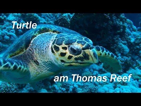 Turtle, Camel Dive Club Sharm el Sheikh, Red Sea