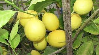видео Как ухаживать за комнатным лимоном - советы