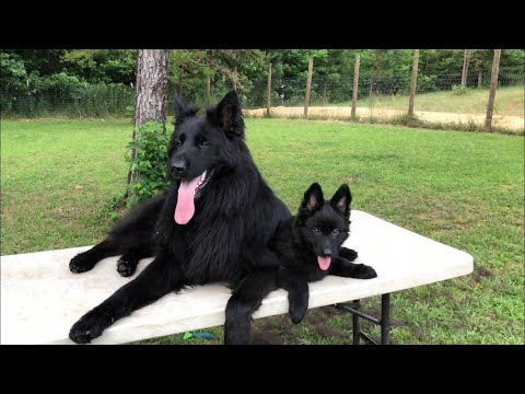 Solid black German Shepherd puppy for sale
