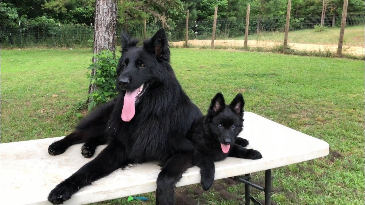 Solid black German Shepherd puppy for sale - YouTube