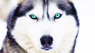 Ездовые собаки: породы, происхождение и обучение. Собаки от А до Я (DOGS FROM A TO Z)