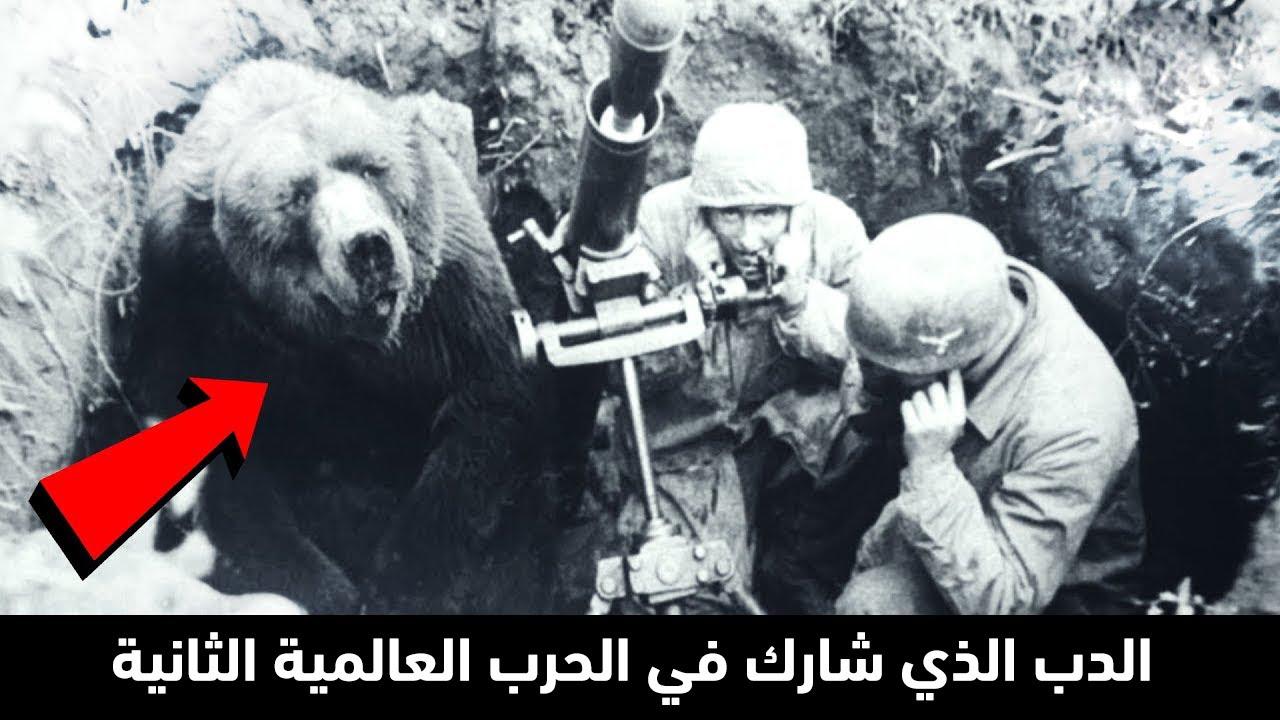 إنه  الدب العجيب الذي شارك في الحرب العالمية الثانية، وكان يقاتل مع الجنود !