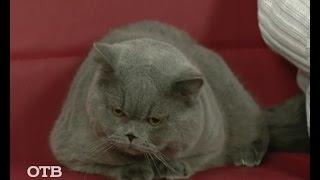 Знакомство с питомцами: британские кошки (30.10.15)