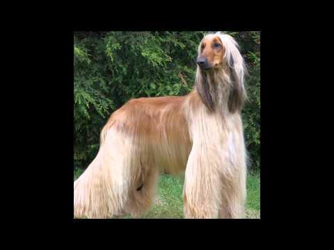 Afghan Hound (dog breed HD slide show)! / Афганская борзая (порода собак HD слайд шоу)!