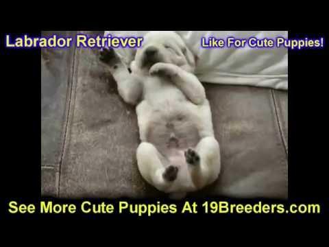 Labrador Retriever, Puppies, For, Sale, In, Anchorage, Alaska,AK, Fairbanks, Juneau, Eagle River