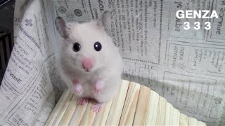 upturned eyes hamster
