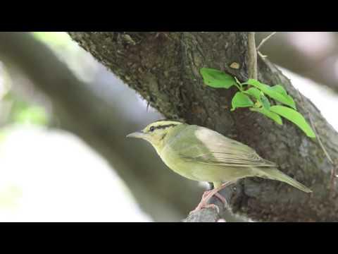 Worm-eating Warbler Feeding
