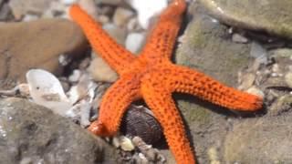 estrella de mar caminando