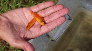 FISH-TRAP CATCHES RARE POND INVADERS