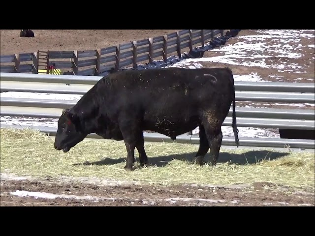 Connealy Angus Lot 508