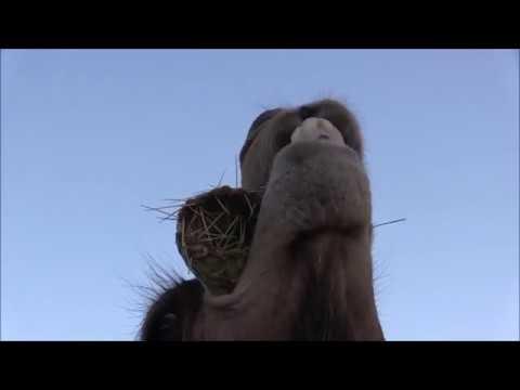 선인장 먹는 낙타 ㄷㄷㄷ