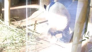 Panda Lele's scapula protruding while walking