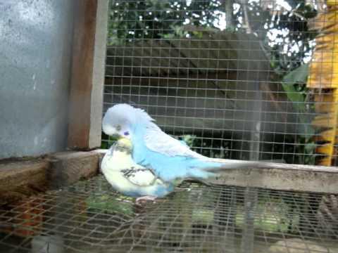 Burung budgie membibit (birds have mate)