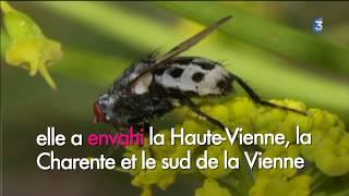 La mouche wohlfahrtia menace les troupeaux du Montmorillonnais (titrée)