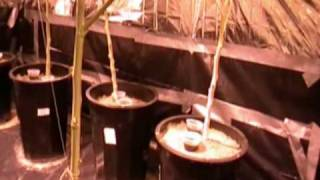 Flying Gnats in your Marijuana Plants - How to Win This War ~SUPER TIP~