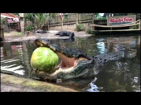 شاهد: القوة الساحقة لفكي تمساح وهو يقضم بطيخة  - نشر قبل 3 ساعة
