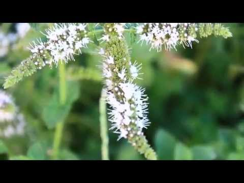 Organic Moringa Herbal Tea, with Homestead Garden Herbs!