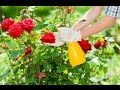 How to care rose plant in summer care and tips mp3