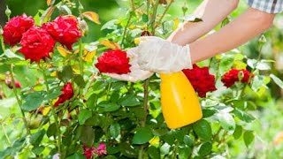 How to care rose plant in summer care and tips