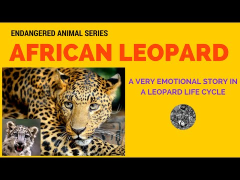 Endangered Animal African Leopard: Science and Education of Endangered Animal African Leopard