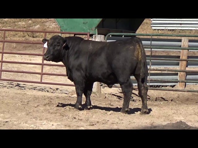 Connealy Angus Lot 58