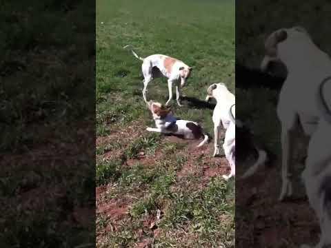 Greyhounds and Beagle