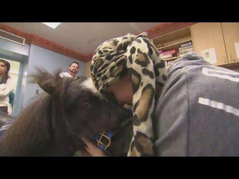 Miniature horses visit sick kids