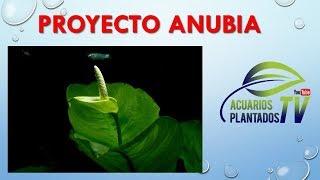Nuevo proyecto anubias