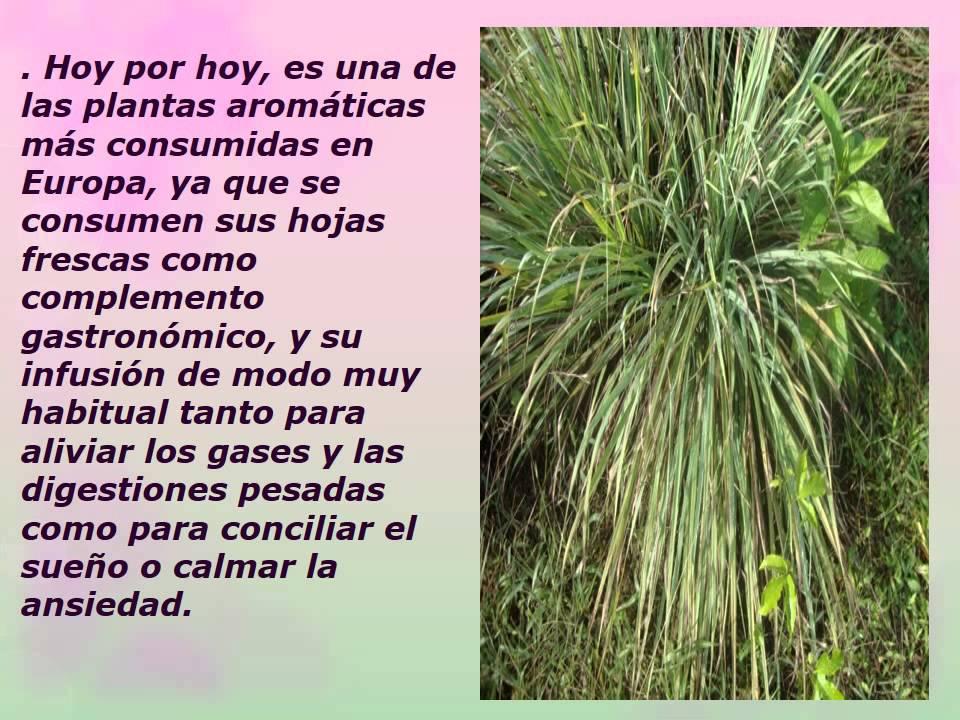 Beneficios y propiedades de la hierba luisa youtube - Hierba luisa en maceta ...