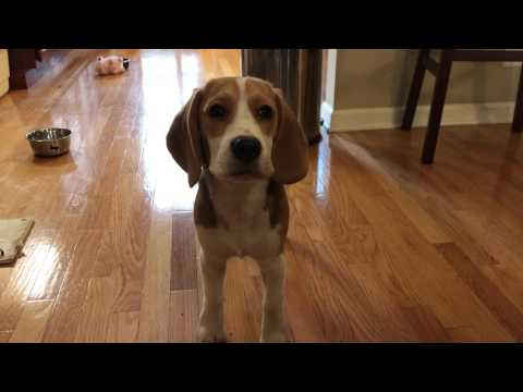 Beagle puppy wants more food, makes very cute whine