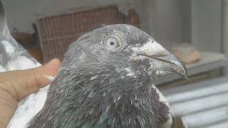 Old pigeon breeds - blue eyes pankhi   male pigeon. bd rahman pigeons loft.
