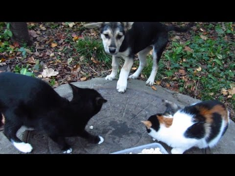 Cats protect food from feral puppies