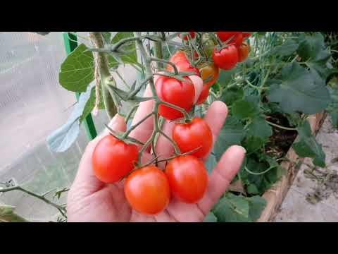 Обзор томатов фирмы Партнер. На 30.07.2019. Теплица