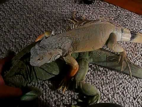 BREEDING GREEN IGUANAS!!!