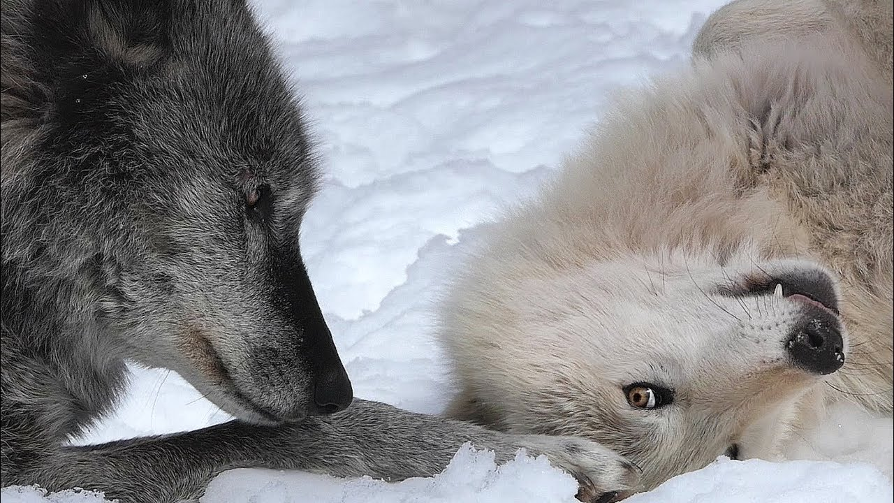 Wolf Begs to Play with Older Brother