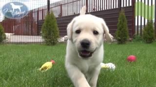 Мальчик c Зеленой лентой 6 недель | Щенки лабрадора / Labrador puppies